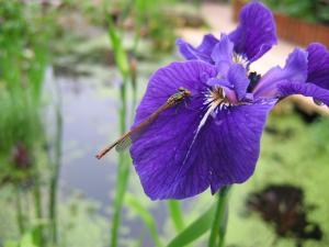 iris-vericolor